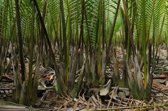 Wurmb. Is growth near river and it is palm . it has fruit for desert Stock Photo
