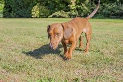 Wursthund, der auf das Gras geht stockbilder