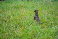 Wursthund oder -Dachshund, die auf dem grünen Gebiet mit bunten Blumen springen lizenzfreie stockbilder