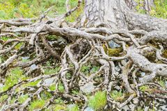 Wurzel-Baum-Jungfrau Forest Ireland stockfoto