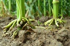 Wurzel der Maispflanze Stockbild