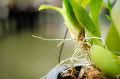 Wurzel der Orchidee Stockfotografie