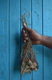 Wurzel der Pfefferanlage benutzt, um Kava-Getränk zu produzieren Lizenzfreies Stockbild