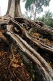 Wurzel des alten Durianbaums Stockfoto