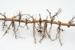 Wurzel des Bambusses Stockfotografie