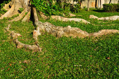Wurzel des Baums Stockfotografie