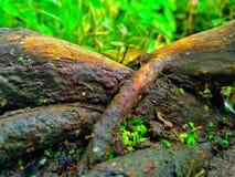 Wurzel des Baums Stockfoto