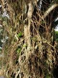 Wurzel des Baums groß und alt stockbild