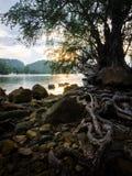 Wurzel des Baums im Sonnenuntergang Stockbild