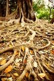Wurzel des großen Baums Stockbilder