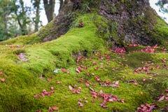 Wurzel des großen Baums umfasst durch Moos lizenzfreie stockfotografie