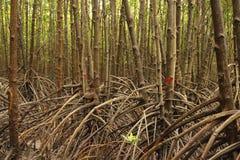 Wurzel des Mangrovenbaums im Sumpf Stockfotografie