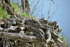 Wurzel durch den Fluss stockfoto