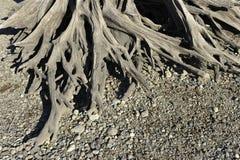 Wurzel eines toten Baums Lizenzfreies Stockbild