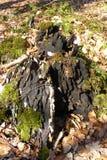 Wurzel im Holz Stockfoto