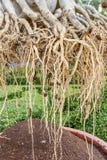 Wurzel von Adenium obesum Baum Stockfoto