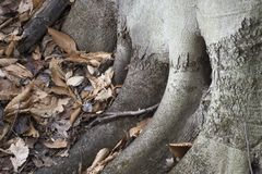 Wurzeldetail des Baums im Wald stockfotografie