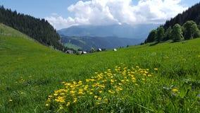 Wurzelgrasansicht des gelben Berges blüht auf grüner Wiese Stockfotografie