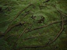 Wurzeln über dem Boden Stockbild
