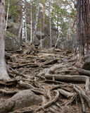 Wurzeln der Bäume Lizenzfreies Stockbild