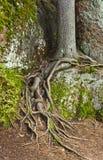 Wurzeln der Fichte Stockbild