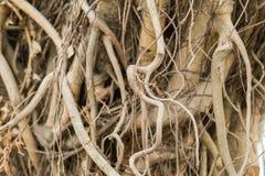 Wurzeln des alten Baums ohne Boden Stockfotografie