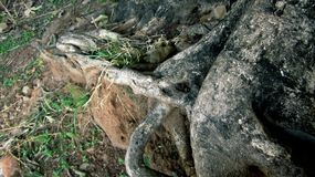 Wurzeln des Banyanbaumes Lizenzfreie Stockbilder
