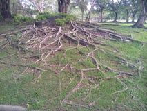 Wurzeln des Baums stockbilder