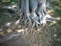 Wurzeln des Baums Stockbild