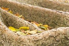 Wurzeln des Feigenbaums mit Blättern Stockbilder