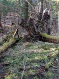 Wurzeln des gefallenen Baums stockfoto