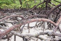 Wurzeln des Mangrovewaldes Stockfotografie