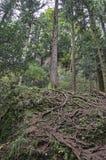 Wurzeln des Tannenbaums Lizenzfreie Stockbilder