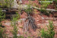 Wurzeln, die ein Leben ihrer Selbst- und Keimungsblätter auf einer Klippe mit Grundlagen von Gebäuden über - rote Erde und Teil e stockfotografie