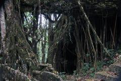 Wurzeln, die unten von einem Bantambaumfeigenbaum hängen Lizenzfreie Stockbilder