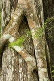 Wurzeln einer Stranglerfeige greifen fest eine Florida-Zypresse Stockbilder
