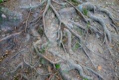 Wurzeln eines alten Baums Stockfotografie