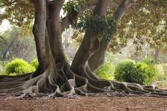 Wurzeln eines Bantambaum-Baums Lizenzfreies Stockfoto