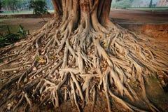 Wurzeln eines Bantambaumbaums Lizenzfreie Stockfotos