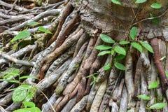 Wurzeln eines Baums Stockfotografie