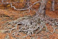 Wurzeln eines Baums in den Fallfarben Stockfotografie