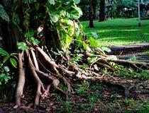 Wurzeln eines großen Baums mit grünen Blättern beleuchten morgens Lizenzfreie Stockfotos