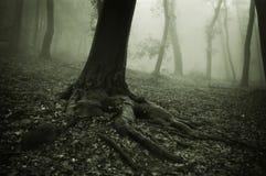 Wurzeln eines großen Baums mit Nebel im Hintergrund Stockbild