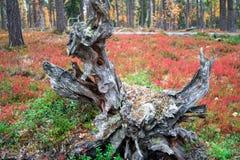 Wurzeln eines toten Baums in Autumn Taiga Forest Lizenzfreies Stockfoto