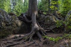 Wurzeln im Wald Lizenzfreies Stockfoto