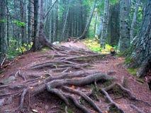 Wurzeln im Wald Stockbilder