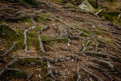 Wurzeln im Wald von Deutschland Lizenzfreies Stockbild