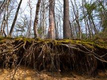 Wurzeln umfasst mit Moos im Wald stockbilder