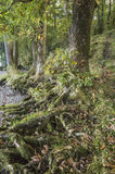 Wurzeln von den Bäumen herausgestellt durch den Seeufer am See Windermere lizenzfreie stockfotos