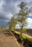 Wurzeln von den Birken beschädigt durch Abzugsgraben Lizenzfreie Stockfotos